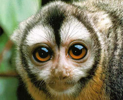 http://2.bp.blogspot.com/_3-87czu76rw/TP5EINjlLnI/AAAAAAAACt4/rRZINCQlEk8/s400/Owl-monkey.jpg