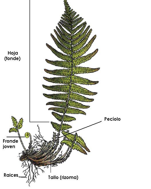 Aspecto generales y morfología de helechos y plantas afines by Sara ...