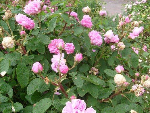 Ma plan te jardin salet un rosier ancien la floraison abondante et parfum e - Bouturer un rosier ancien ...