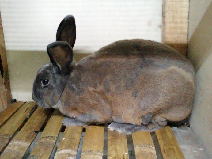 jual kelinci hias,pedaging dll