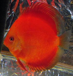 discus fish pictures - Red Ruby Discus aquarium fish marine fish ...