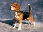 u charmant beagle