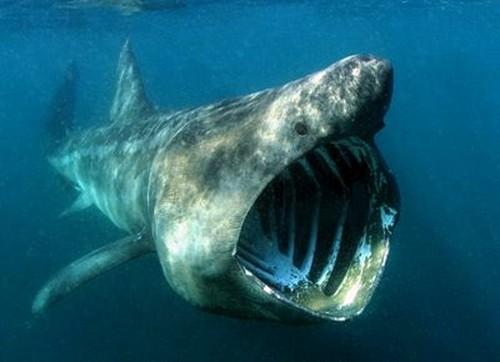 foto ikan hiu terbesar di dunia - gambar hewan