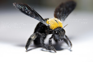 Carpenter Bee in Freeze