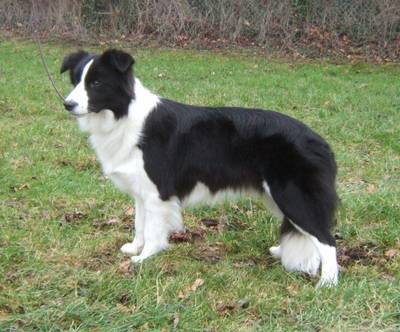 short haired border collies short haired border collies