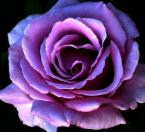 MyPurple Rose