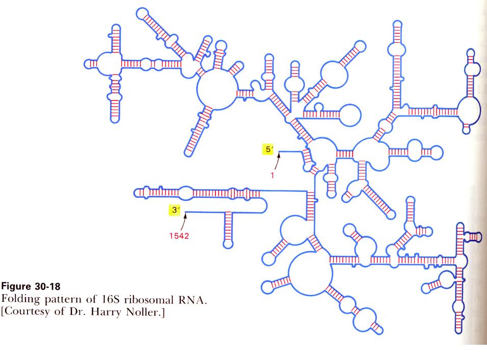 ... the bacterial 16s rrna gene something like