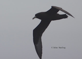White-chinned Petrel copyright 2009 by John Sterling.