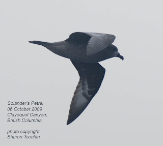 Solander's Petrel, October 6, 2009, British Columbia, by Sharon Toochin.