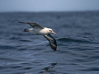 Laysan Albatross off Newport, Oregon, April 18, 2009 by Greg Gillson