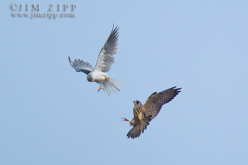 White-tailed kite photo fighting