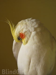 papagal mascul nimfa