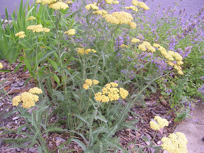 Herbalist Lisa Zahn: Yarrow Oil, Salve and Tincture: How To Make ...