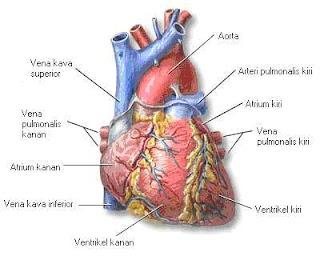 gambar jantung 7 langkah jantung sihat