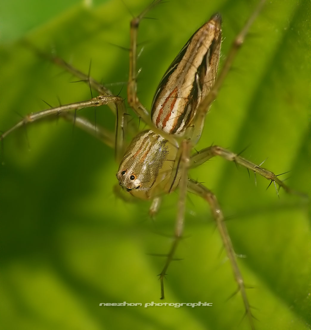 Green lynx spider green lynx spider