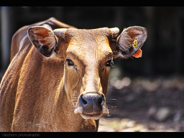 brown cow animal picture