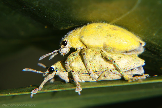 yellow snout beetle mating picture