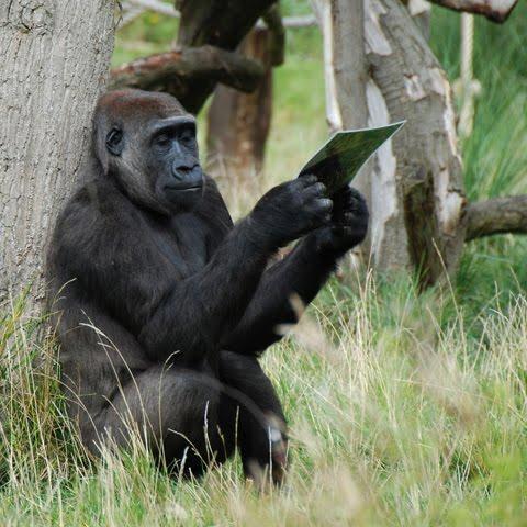 gorilla view a photo picture