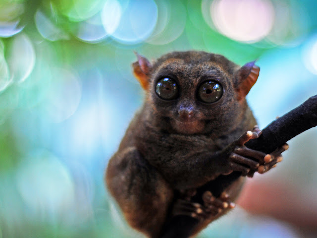 Philippine Tarsier monkey photo