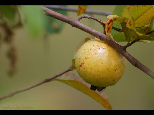 guava - jambu batu
