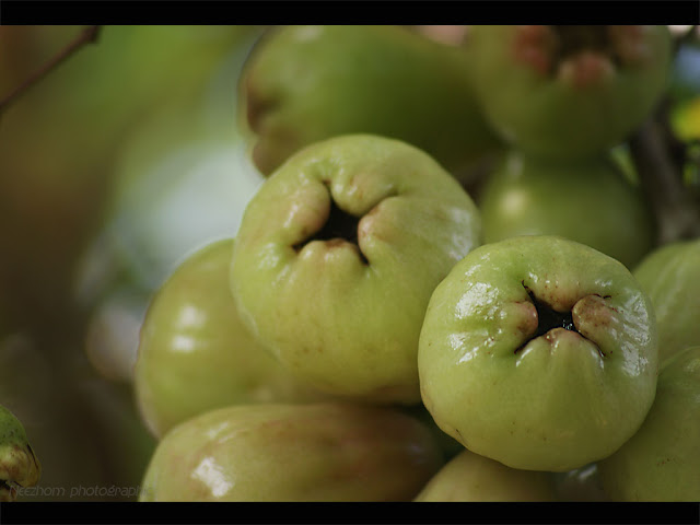 green water apple - jambu air