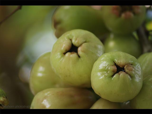 green water apple - jambu air