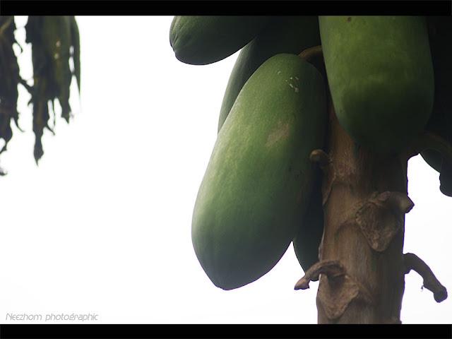 papaya - betik