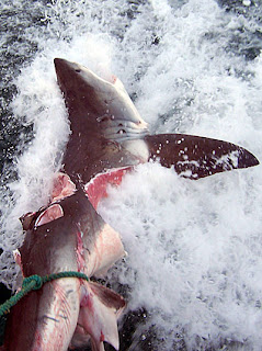 Giant shark bites Great white ~ Weird and wonderful news ...