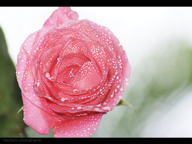 rose flowers pictures gallery. Purple flower and water drops