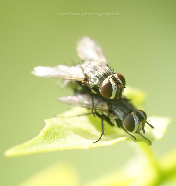 lalat mengawan