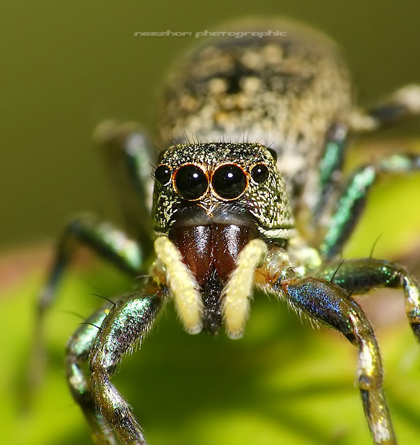 Jumping Spider - Yellow brown bluey