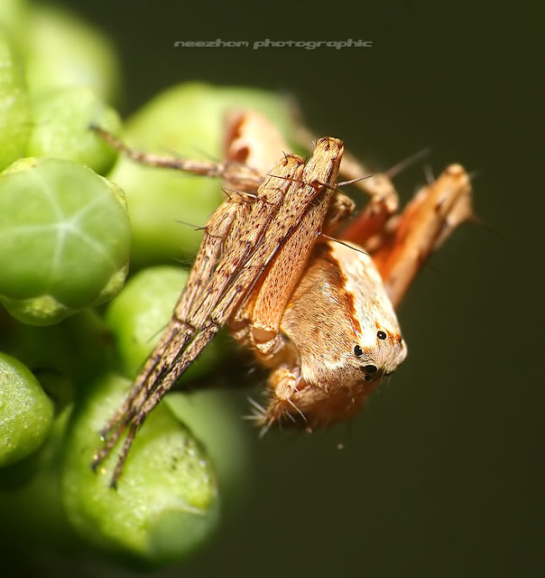 Light brown Spider on small fruits