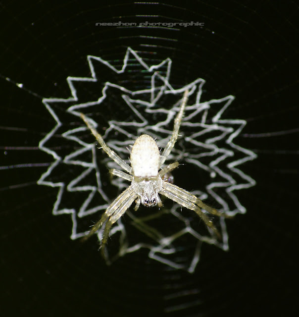 White Spider on a zig zag web