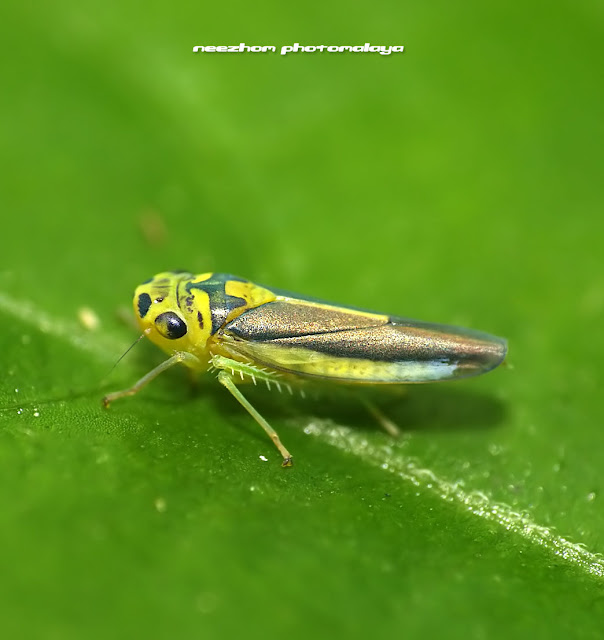 Orange head and colourful wings Leafhopper