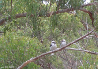 the view from the deck, complete with kookaburras