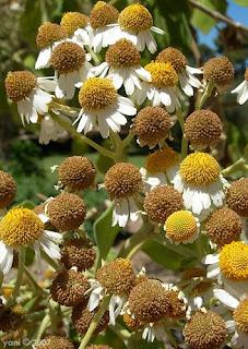 daisy heads