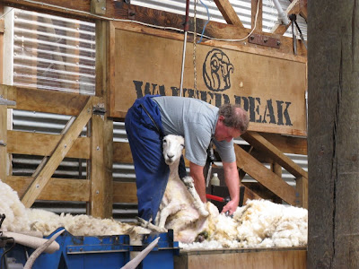 photo of a sheep shearing