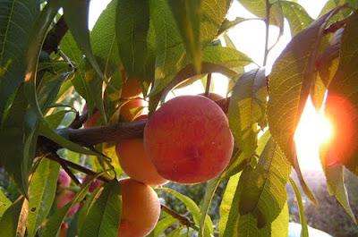 piersici fructe gradina