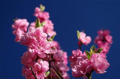 piersici flori gradina