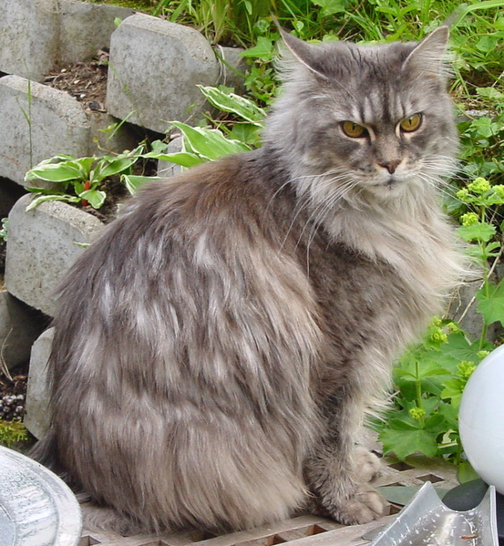 The Maine Coon Largest Domesticated Cat Breed