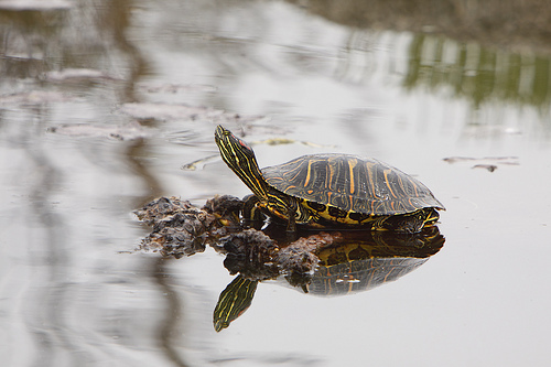 Red Eared Slider Turtles -Tips on Care and Diet Our Pets, We Love ...