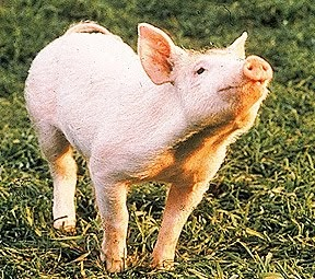 Babe Pig In The City Dog Breed