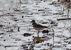 KIlldeer Wading in the Marsh