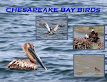 CHESAPEAKE BAY BIRDS