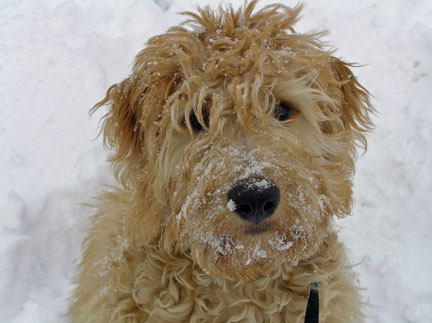 goldendoodle pictures. Goldendoodle