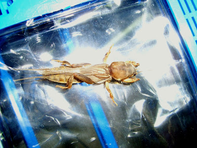 mole cricket, bug