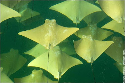 Stingrays, Cow Nosed Rays