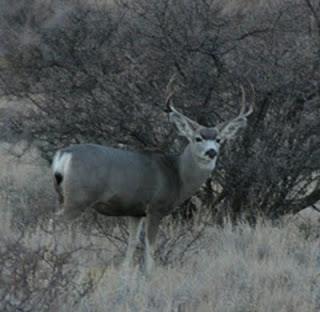 Point Mule Deer