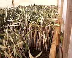 Propagación de olivos por estaquillas