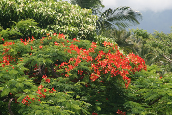 Royal Poinciana In Bloom